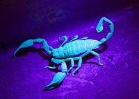IR and UV Lighting Up A Scorpion